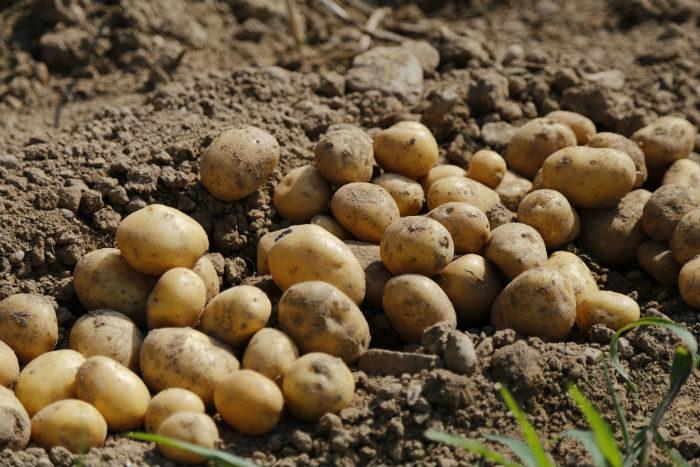 patatas recién sacadas de la tierra