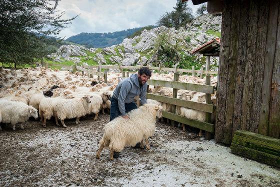 pastor con ovejas latxas