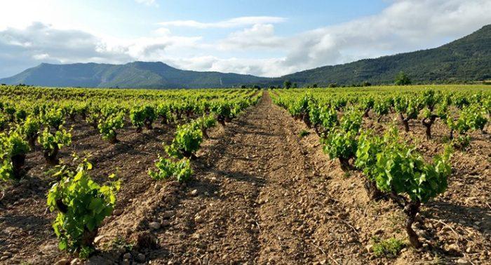 Viñas en Rioja Alavesa