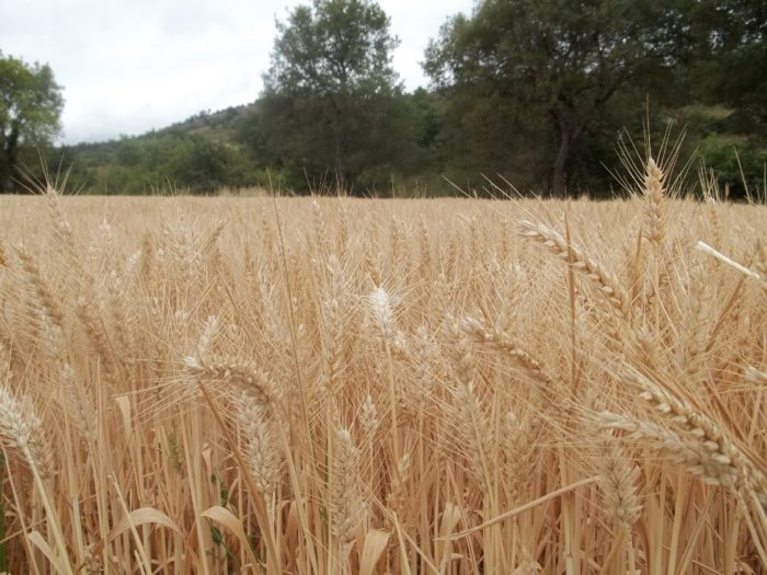 finca de trigo
