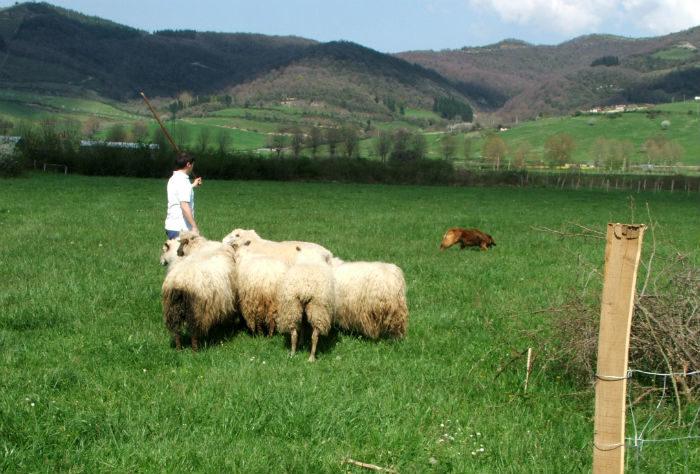 Ovejas en un prado con pastor y perro pastor