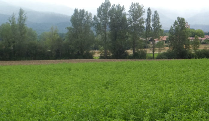 finca sembrada de alfalfa