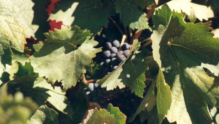 uvas y viñas