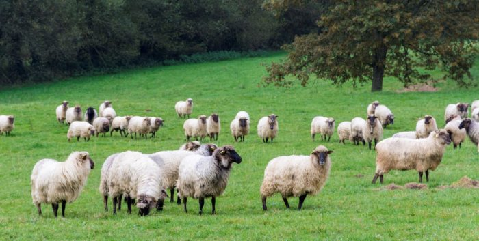 ovejas latxas