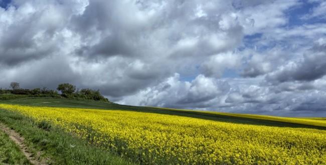 paisaje colza