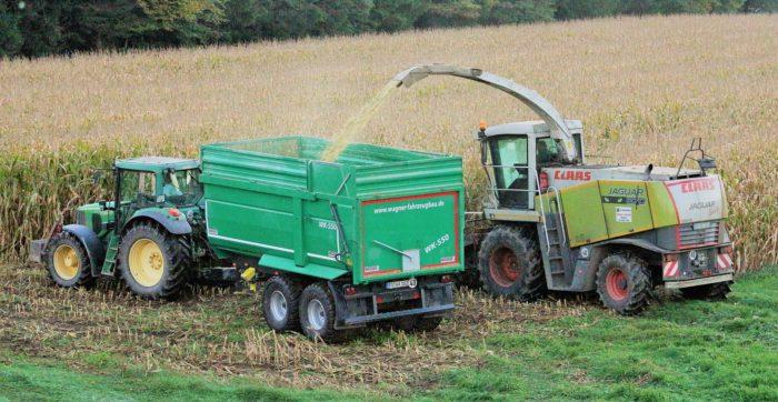 Realizando la cosecha del maíz