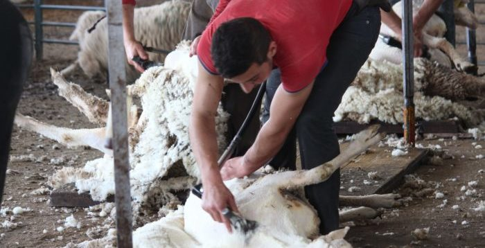 Persona esquilando ovejas