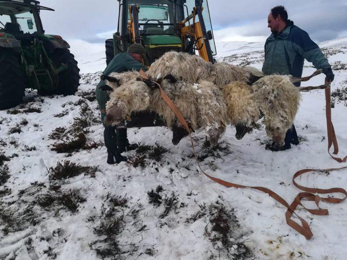 Retirada de ovejas muertas por ataque de perros