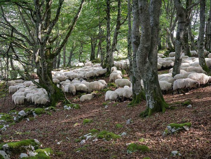 ovejas latxas en monte