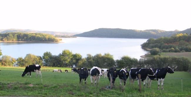 vacas junto al embalse