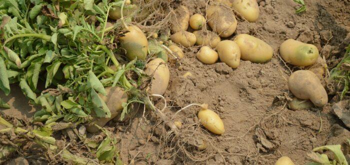 patata para cosechar