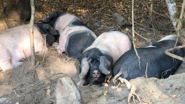 cerdos del proyecto silvotxerri