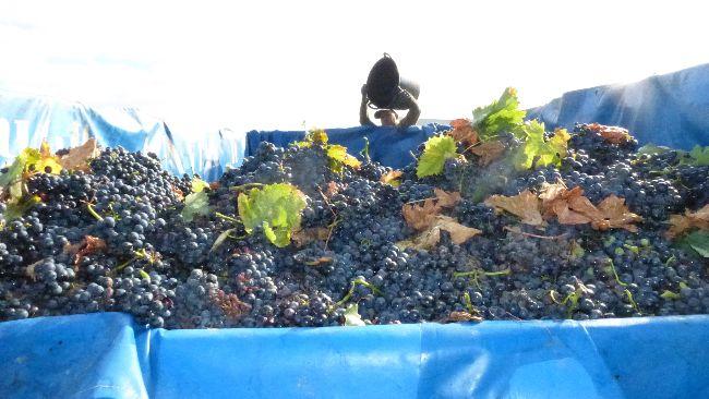 Remolque de uva recién vendimiada
