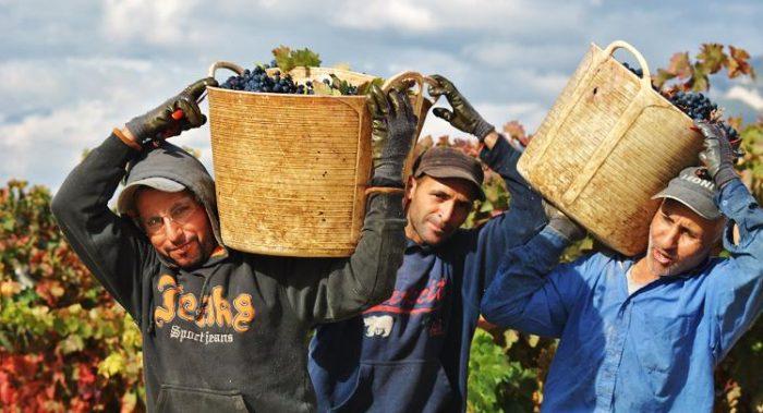Temporeros llevando uva