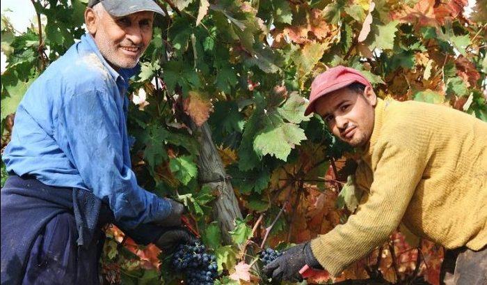 temporeros recogiendo uva