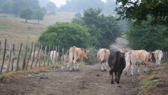 vacas en el monte