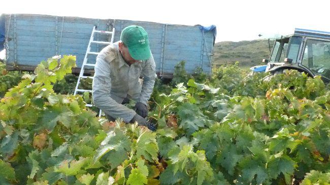 temporero cortando uva