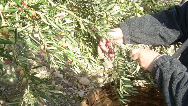 recogiendo olivas
