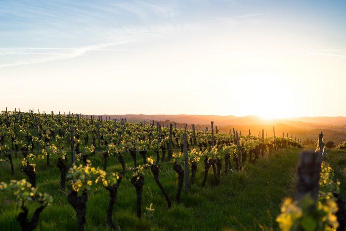Amanecer entre viñas