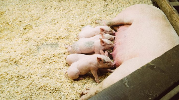 Amamantando cerdos