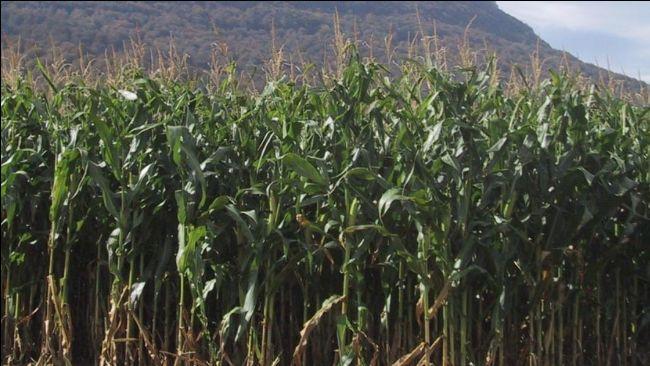 Finca de maíz