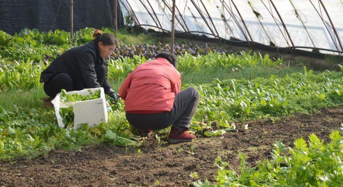 trabajadoras en invernadero