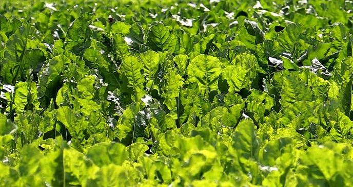 Cultivo de remolacha